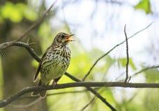 De vogelzanglijster zingt luid in het de lentehout royalty-vrije stock fotografie