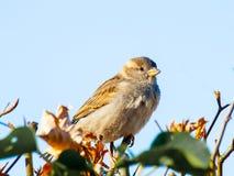 De vogelzitting van de huismus op de omheining Stock Fotografie