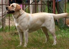 De volbloed van de hond royalty-vrije stock foto's