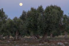 De volle maan tussen olijfbomen Royalty-vrije Stock Afbeeldingen
