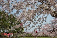 De volledig ontplooide kers komt bij Fort Goryokaku, Hakodate, Hokkaido, Japan in de lente tot bloei Selectieve nadruk Stock Afbeeldingen