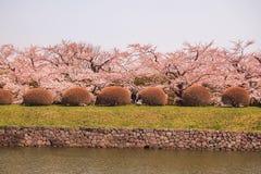 De volledig ontplooide kers komt bij Fort Goryokaku, Hakodate, Hokkaido, Japan in de lente tot bloei Selectieve nadruk Royalty-vrije Stock Fotografie