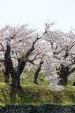 De volledig ontplooide kers komt bij Fort Goryokaku, Hakodate, Hokkaido, Japan in de lente tot bloei Selectieve nadruk Royalty-vrije Stock Foto