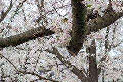 De volledig ontplooide kers komt bij het Park van Kumagaya Arakawa Ryokuchi in Kumagaya, Saitama, Japan tot bloei Royalty-vrije Stock Foto