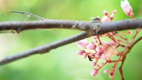 De volledige hoge videolengte van de definitieresolutie van de bloemfruit van de sterappel met vlieg, vage achtergrond stock videobeelden