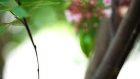 De volledige hoge videolengte van de definitieresolutie van de bloemfruit van de sterappel vertroebelde achtergrond stock video