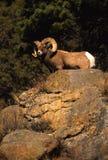 De volledige Ram van de Schapen van Bighorn van de krul royalty-vrije stock afbeelding