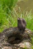 De volwassen Amerikaanse Mink (Neovison vison) ziet omhoog eruit Royalty-vrije Stock Afbeelding
