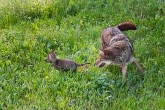 De volwassen Coyote (Canis latrans) achtervolgt Jong Royalty-vrije Stock Afbeelding