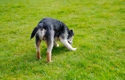 De volwassen die hond van de grensterriër in achtertuintje wordt gezien, die met zijn speelgoed tijdens de zomer spelen Royalty-vrije Stock Foto's