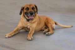 De volwassen hond die van Rhodesian Ridgeback op de grond leggen stock afbeelding