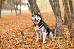 De volwassen hond Schor met bruine ogen in de herfstpark plakte uit zijn ton stock afbeeldingen