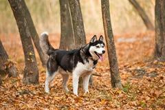 De volwassen hond Schor met bruine ogen in de herfstpark plakte uit zijn ton royalty-vrije stock foto