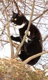 De volwassen jonge zwarte kat met wit eind van poten, snuit en hals en met grote glanzende gele ogen bevindt zich op sneeuwtak in royalty-vrije stock foto's