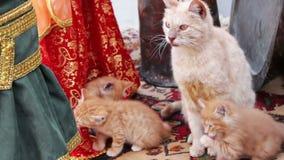 De volwassen kat van de homelles rode moeder wast zich en wast haar rode katjes stock videobeelden
