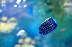 De volwassen Keizerzeeëngel, ook genoemd de Imperator-Zeeëngel, heeft een gewaagd, blauw lichaam omvat met heldere gele horizonta royalty-vrije stock afbeeldingen