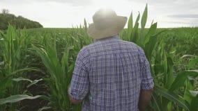 De volwassen landbouwer houdt tablet in het graan gebied en het onderzoeken van gewassen De agronoom onderzoekt graaninstallatie  stock videobeelden