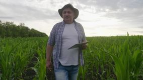 De volwassen landbouwer houdt tablet in het graan gebied en het onderzoeken van gewassen De agronoom onderzoekt graaninstallatie  stock video