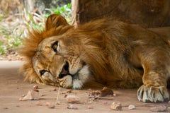 Leeuw in een dierentuin Stock Fotografie