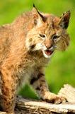 De volwassen Lynx stelt op twee rotsen Royalty-vrije Stock Afbeelding