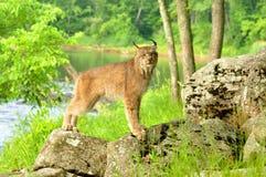 De volwassen Lynx stelt op twee rotsen Stock Foto