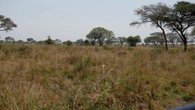 De volwassen mannelijke Afrikaanse leeuw loopt de savanne tijdens het droge seizoen in het wild stock videobeelden