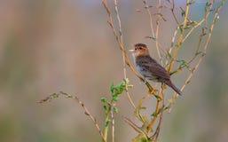 De volwassen mannelijke Gemeenschappelijke sprinkhanengrasmus zingt zijn zeer luid lied royalty-vrije stock foto