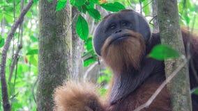 De volwassen orangoetan kijkt zelfgenoegzaam stock foto