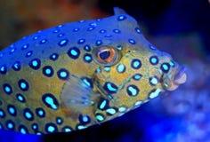 De volwassen vissen van de kubusboomstam op koraalrif Stock Foto