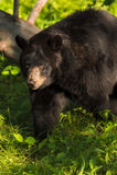 De volwassen Vrouwelijke Zwarte draagt (americanus Ursus) Verlaten Gangen Stock Foto's