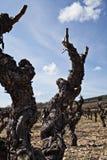 De voorraadclose-up van de wijnstok royalty-vrije stock foto's