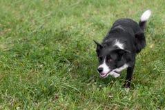 De voorraadhond besluipt links Stock Fotografie