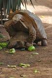 De voortplanting van de schildpad Royalty-vrije Stock Foto's