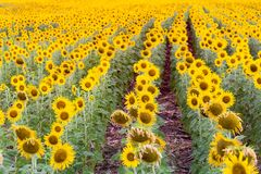 De voorwaarde van de het gebieds volledige bloei van de zonnebloembloesem Royalty-vrije Stock Afbeeldingen