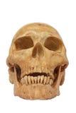 De voorzijde van menselijk geïsoleerd schedelmodel omvat weg Stock Foto
