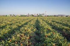 De voren van de tomatenaanplanting met tomatenfabriek bij bodem royalty-vrije stock foto's