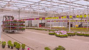 De vorkheftruck vervoerden bloemen Werkschema in een moderne serre stock video