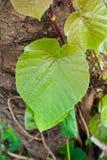 De vorm van het blad zoals hart. Royalty-vrije Stock Afbeeldingen