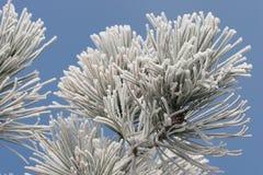 De Vorst van het ijs op de Boom van de Pijnboom stock foto's