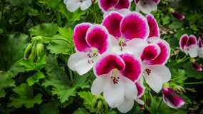 De Vorstelijke Geranium van Bicolour van suikergoedbloemen stock fotografie