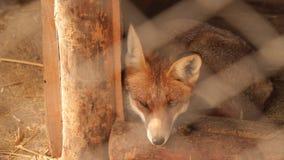 De vos is in een kooi stock footage
