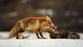 De vos trekt de huid van een hert in de sneeuw Stock Foto's