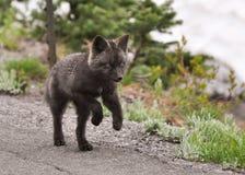 De vos van de baby Stock Afbeeldingen