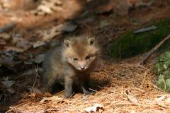 De vos van de baby Royalty-vrije Stock Afbeelding