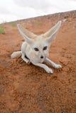 De vos van de woestijn Stock Foto