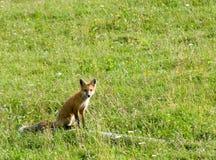 De vos van de zitting Royalty-vrije Stock Fotografie