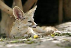 De vos van Fennec Stock Afbeeldingen