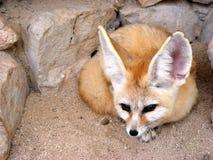 De vos van Fennec het liggen Stock Afbeelding