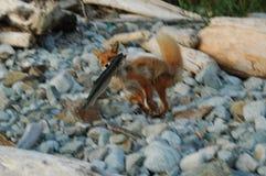 De vos vangt de zalm in sprong Royalty-vrije Stock Afbeelding