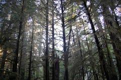 De vreedzame bomen van Noordwestendouglas fir Royalty-vrije Stock Foto's